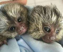 Monos titíes dedo listos para ser tu nuevo compañero. Texto, llamada o WhatsApp: +1 (440) 895-7979